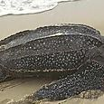 Turtles on Manzanillo Beach