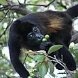 Howler Monkey Having Breakfast